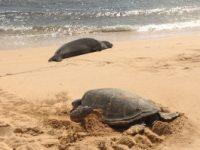 Meeresschildkröten auf Kauai werden wir besuchen und erleben mit Ihnen auf Hawaii. Für mehr Möglichkeiten besucht www.alohana.de